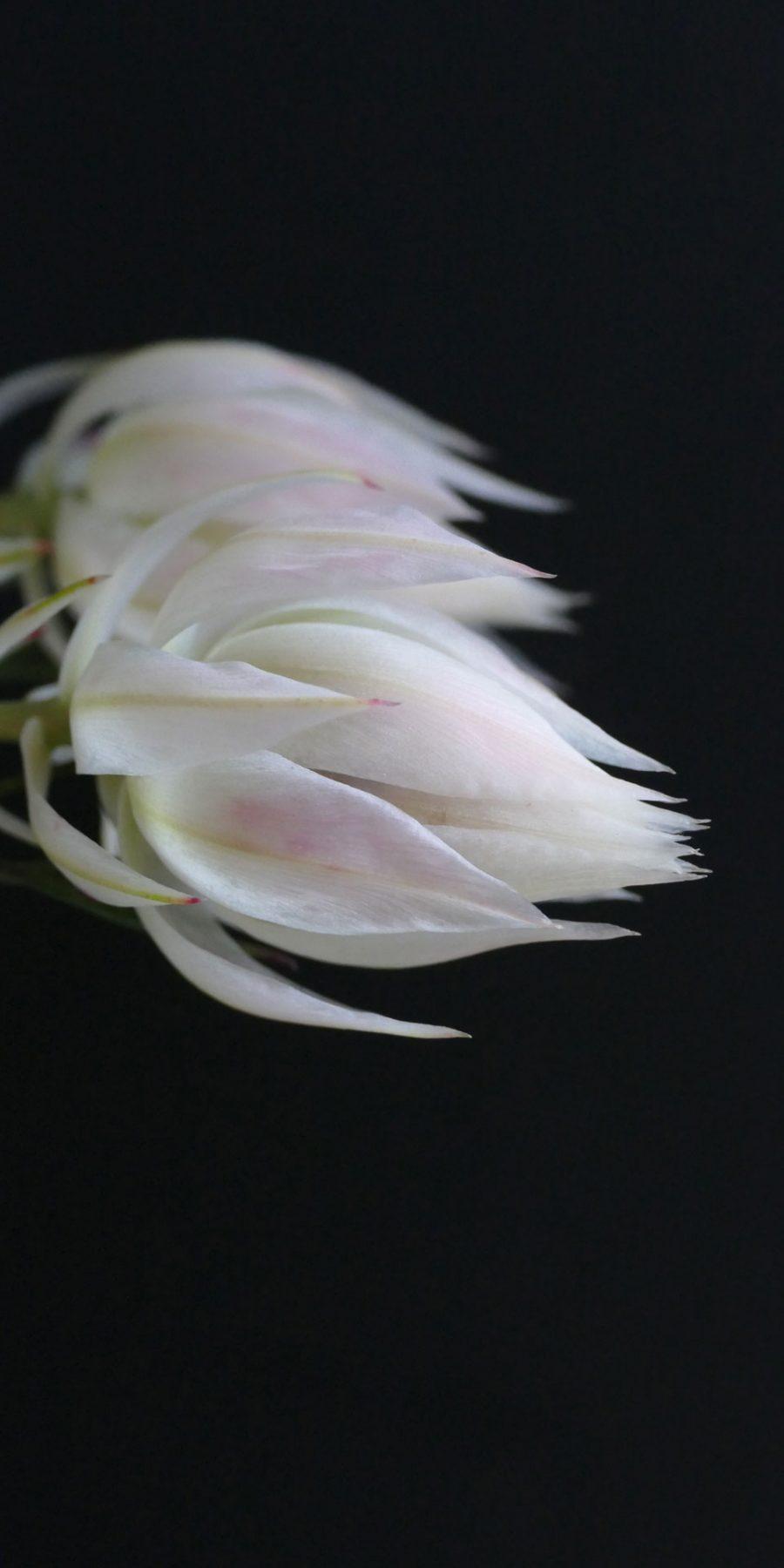 Casa Mia Blushing Bride Protea | Serruria Florida
